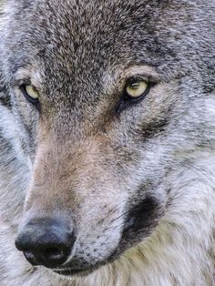 Wolf - Face