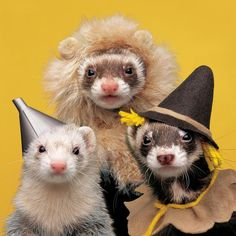 Ferrets Wizard of Oz (736×736) cowardly lion, tin man, and scarecrow -- pets album