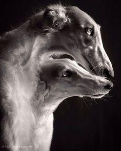Beautiful Dogs, Animals Beautiful, Animals And Pets, Cute Animals, Borzoi Dog, Whippets, Russian Wolfhound, Dog Photography, Dog Photos