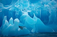 Chinstrap Penguins rest on a rare blue Iceberg. Antarctic Prion flies over. Antarctica: Antarctica: Arctic & Antarctic photographs, pictures & images from Bryan & Cherry Alexander Photography.