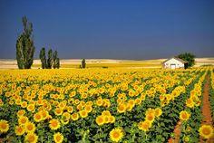 Sunflower Fields, Andalucia - Spain