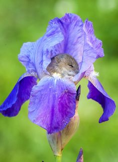 Cute little harvest mouse snoozing in a purple iris. Cute Baby Animals, Animals And Pets, Funny Animals, Beautiful Creatures, Animals Beautiful, Harvest Mouse, Cute Mouse, Baby Mouse, Mini Mouse