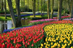 La Hollande est célèbre dans le monde entier pour ses champs de tulipes qui fleurissent à perte de vue, palette grandeur nature habillant le paysage de ban