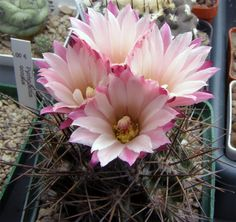 Cactus and Succulents 474