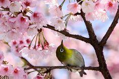 Japanese cherry blossoms - I feel like this hummingbird. Enjoying the benefits of a cherry blossom.