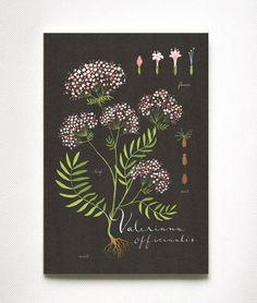Valerian print 13x19 Botanical collection flower by evajuliet