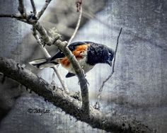 Hey, I found this really awesome Etsy listing at https://www.etsy.com/il-en/listing/276384968/eastern-towhee-photograph-nature