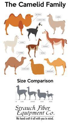 Strauch Fiber Equipment Co. Zoo Animals, Animals And Pets, Funny Animals, Cute Animals, Beautiful Creatures, Animals Beautiful, Alpaca Facts, Llama Face, Baby Llama