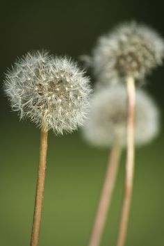 .Dandelion Wishes