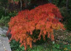 Dwarf Japanese Maple, lace leaf (fall). Dwarf Japanese Maple, Japanese Tree, Garden Oasis, Lawn And Garden, Japanese Garden Design, Acer Palmatum, My Secret Garden, Small Trees, Landscaping Plants