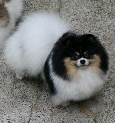 Image result for Pomeranians Disqualification Colors
