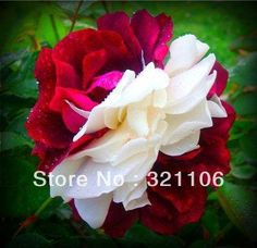 Cheap seed saving, Buy Quality seed rape directly from China seeds picture Suppliers: rose seeds White And Red rainbow rose Flower Seeds sementes de rosa sementes de flores For Home Garden Bonsai Flower Seeds, Flower Pots, Birthday Roses, Rainbow Roses, Beautiful Rose Flowers, Bonsai Garden, Tea Roses, Garden Supplies, Houseplants