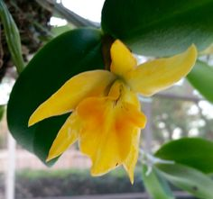 NoID Cattleya bifoliate bright yellow with light orange lip; division from Manny 5/16; potted 5/16; Puffed sheath 10/16