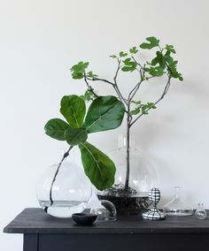 Fig in a vase - Just wash the soil from the roots of little tree and put into the water | HEIMELIG BLOG