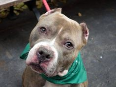 TO BE DESTROYED -11/14/13 Manhattan Ctr ~THADDEUS #A0984356 MALE GRAY BRINDLE & WHITE PIT BULL MIX 5 YRS STRAY 11/07/13 Thaddeus is likely house trained & very affectionate. Quite active & sometimes so needy for human affection. Pulls a little on leash but sits/stays on command. Fine w/ other dogs met. SOME guarding w/ food/bone/toys - common for strays, retrainable! Thadd is looking for someone who will help him feel safe & cared for. Just a warm bed, a full bowl, & your love!