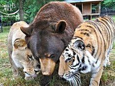 Baloo the American black bear (Ursus americanus ), Leo the African lion (Panthera leo), and Shere Khan the Bengal tiger (Panthera tigris tigris); known as BLT.