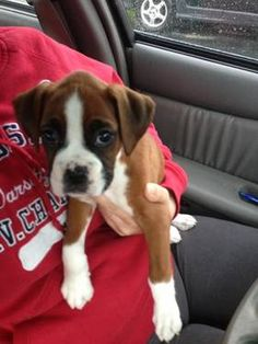11 Best Boxer Puppies Images Boxer Dogs Boxer Puppies For Sale