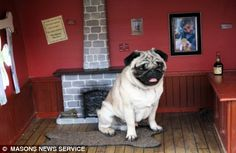 mozart the pug in his very own pub