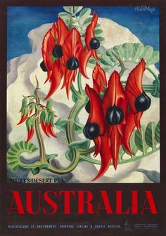 Vintage Travel poster by Eileen Mayo - Australian poster illustrating a large painting of Sturt's desert pea, one of Australia's best - Pea Flower, Flower Art, Posters Australia, Australian Wildflowers, Australian Flowers, Norfolk, Australian Vintage, Kunst Poster, Tourism Poster
