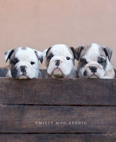Box o' Bullies - aren't they cute?