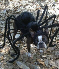 Halloween Costumes For Boston Terrier Dogs Spider Halloween Costume, Dog Halloween, Spider Costume For Dogs, Animal Costumes, Pet Costumes, Costume Ideas, Mouse Costume, Puppy Costume, Boston Terrier Love