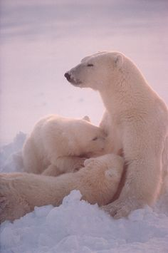 Polar Bear mother nurses her cubs - Cape Churchill, Canada. (©Bryan & Cherry Alexander Photography)