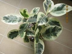 """Ficus elastica 'Variegata' in photo; La Sumida has standard F.b. form 4' tall in 5 gal $40; they have small pots of 'jamie' (their name) for $12 in 6""""pots  18"""" h/w"""