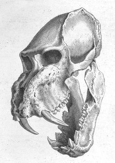 From Osteographia or the #anatomy of the bones by William Cheselden.  #skull