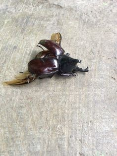 Asiatic Rhinoceros Beetle or Coconut Rhinoceros Beetle, Oryctes rhinoceros (Coleoptera: Scarabaeidae), male
