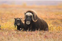 Wildlife Musk Ox Family