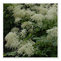 Goat' Beard, Aruncus, deserves a more dignified common name due to its majestic blossoms. Shade perennial.