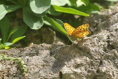 Butterfly in Motion: Indian Fritillary (GIF)