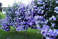 Dona Flor | Perfume do passado: cultive o manacá-de-cheiro e atraia borboletas à varanda e ao jardim - Dona Flor