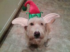 Pedro is Eli's Spaanse rasbakken elfhond #Kerst #dogsofpinterest #petsie #Christmas