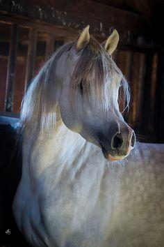 ENOTRI EEA (SHANGHAI EA x ENJOI E by ENZO) 2013 grey stallion