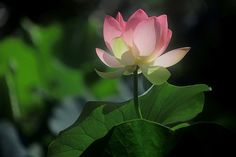 """""""There is the mud, and there is the lotus that grows out of the mud. We need the mud in order to make the lotus. Flower Model, Thich Nhat Hanh, Live In The Present, Wonder Quotes, Mind Body Spirit, Spiritual Path, Water Lilies, Lotus Flower, Mother Earth"""