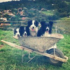 Border Collies...ready for some farm work!