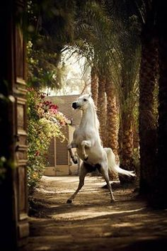 10 Gorgeous Horses with Amazing Hairs Beautiful Arabian Horses, Majestic Horse, Pretty Horses, Horse Love, White Arabian Horse, Beautiful Creatures, Animals Beautiful, Animals And Pets, Cute Animals