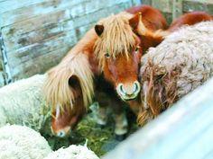 Врятовані від голодної смерті. Два поні, лама і семеро овець після чотиримісячного «голодомору» проходять реабілітацію у Львівському міському еколого-натуралістичному центрі #WZ #Львів #Lviv #Новини #Леополіс