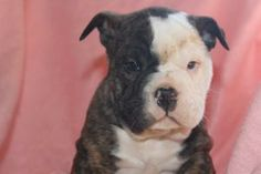Online Pet Supplies, Dog Supplies, Puppies For Sale, Dogs And Puppies, Olde English Bulldogge, Rottweiler Puppies, Dog Accessories, Pitbulls, Sale Sale