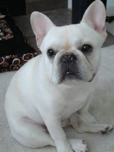 Image result for Frenchie