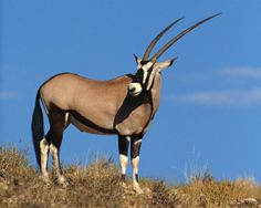 Gemsbok - The gemsbok or gemsbuck (Oryx gazella) is a large antelope in the Oryx genus. It is native to the arid regions (for example the Namib Desert) of southern Africa
