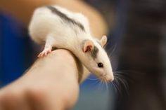 my lovely rat by EffyCosplay