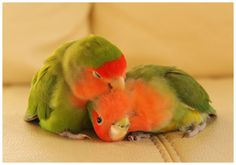 lovebirds Mehr