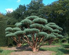 Pinus sylvestris 'Watereri' is rather rare, semi-dwarf tree with very dense short bluish needles, which grow into a bonsai-like dome on twisted branches. It will eventually grow quite large at maturity Topiary Garden, Garden Trees, Plants, Conifers Garden, Bamboo Garden, Japanese Garden, Shrubs, Cloud Pruning, Bonsai Garden