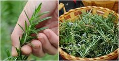 Rosemary is one of the most aromatic and pungent herbs around, here are 20 creative ways to use this wonderful versatile herb and not just in delicious tasting recipes. Uses For Rosemary, Rosemary Plant, How To Dry Rosemary, Aromatic Herbs, Healing Herbs, Home Vegetable Garden, Herb Garden, Oil Benefits, Health Benefits