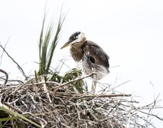 Great Blue Heron chick, Viera Wetlands, Melbourne, Florida