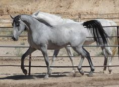 shagya arabian | Endurance prospect Shagya-Arabian for sale in Blue jay, California ...