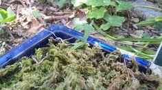 サギソウの芽が何とか出てきたが、弱々しい。今年は三つしか芽が出ていない