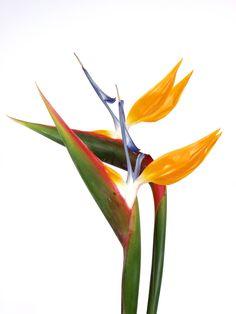 Strelitzia flower.